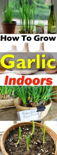 To Grow Garlic In Pots Growing garlic indoors is not difficult and you'll be able to get . How To Grow Garlic In Pots Growing garlic indoors is not difficult and you'll be able to get the supply of fresh green stalks, flowers, and even the garlic bulbs. Indoor Vegetable Gardening, Hydroponic Gardening, Container Gardening, Organic Gardening, Gardening Tips, Gardening Services, Gardening Books, Herb Garden Indoor, Aquaponics Greenhouse