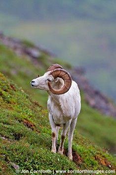 Dall Sheep - Denali, Alaska We saw quite a few  dall  sheep along the  steep hillsides of the tundra