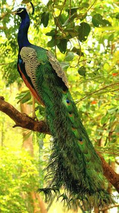 Birds ©: Peacock flaunting its full length colourful feathers [by Sachin Munipalle; Pretty Birds, Love Birds, Beautiful Birds, Animals Beautiful, Simply Beautiful, Exotic Birds, Colorful Birds, Colorful Feathers, Animals And Pets