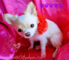 Chihuahua puppies for sale, chihuahua for sale, akc chihuahua, chihuahua breeder, AKC breeder, applehead chihuahua puppies for sale, longhaired chihuahuas for sale www.TeenieChihuahuas.com valentine's gift, puppy for valentine's day, valentine's day puppy, valentine's present