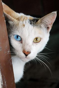 More Adorable Cats with Different Colored Eyes Than You Could Hope to See, Part 2 [20 Pictures]