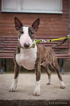 Beautiful Bull Terrier.  Koa! how Koa would look.