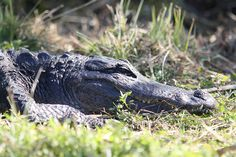 Alligator, The Everglades National Park (Homestead, Florida)