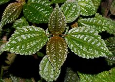 Pilea, Windsor Research Centre, Jamaica, by Ted Lee Eubanks