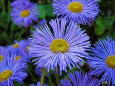 Beautiful flowers....so blue