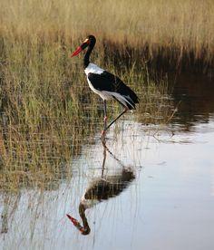 Saddlebilled Stork at Little Vumbura - Botswana