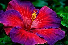 NightFire Hibiscus!! Gorgeous blossom. Love this flower! This is tattooed on my left shoulder blade.