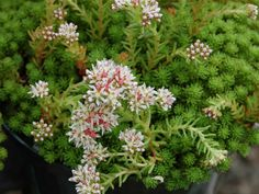 Sedum lydium – Mossy Stonecrop - See more at: http://worldofsucculents.com/sedum-lydium-mossy-stonecrop