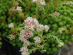 Sedum lydium – Mossy Stonecrop - See more at: http://worldofsucculents.com/sedum-lydium-mossy-stonecrop
