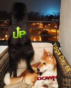 Yoga Dog Yoga Day 68 - Up & Down Dog... Yoga Dog, Husky, Dogs, Animals, Animales, Animaux, Pet Dogs, Doggies, Animal