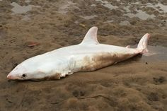 Confirmed: 'Albino' great white shark washes up in Australia   sharks   Earth Touch News