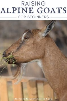 Getting started with raising Alpine Goats for beginners. Information about this hardy Raising Goats, Raising Chickens, Alpine Goats, Happy Goat, Farm Lifestyle, Nigerian Dwarf Goats, Goat Farming, Four Legged, Livestock