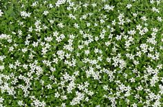 165 best garden groundcoverwalkable plants images on pinterest in my english garden i want steppables this is ground cover that you do not mightylinksfo