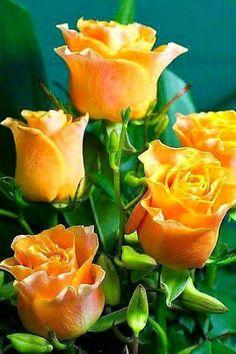 Orange roses Source by dinaoralbaeva