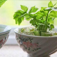 Aquí 9 vegetales y hierbas que puedes hacerlos crecer en la barra de tu cocina + albahaca + zanahoria + cebolla + apio + cilantro + lechuga + ajo + jengibre
