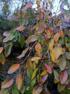 Photo: Elm tree leaves turn for Fall | A Gardener's Notebook