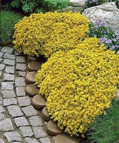 Ground cover a Between azaleas.Yellow Stonecrop (Sedum Acre) forms a dense carpet of fleshly, green leaves and countless star-shaped yellow flowerets. This evergreen plant is a ground cover that holds its leaves in winter. Garden Shrubs, Lawn And Garden, Garden Plants, Perennial Ground Cover, Ground Cover Plants, Flowers Perennials, Planting Flowers, Hardy Perennials, Outdoor Plants