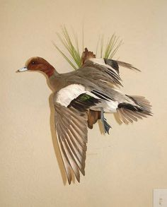 MiscellaneousTaxidermy Gallery Bird Taxidermy, Yahoo Images, Ducks, Image Search, Bullet, Hunting, Fishing, Carving, Posters