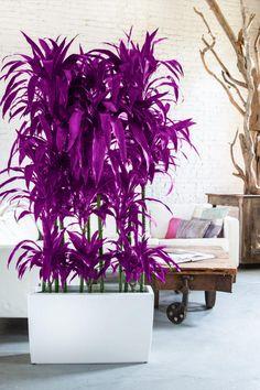 Kaweesakove dračie stromčeky sú nenahraditeľnou ozdobou interiéru Plants, Flora, Plant, Planting