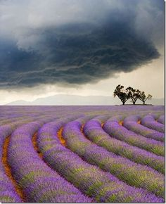 Beautiful rows of lavender with a threatening sky