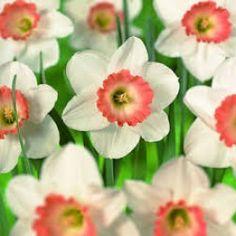 Narcissi (Daffodils) Pink Pride per 25 Daffodil Bulbs, Daffodils, Beautiful Gardens, Beautiful Flowers, Narcisse, Crocosmia, Spring Flowering Bulbs, Bulbs For Sale, Garden Bulbs