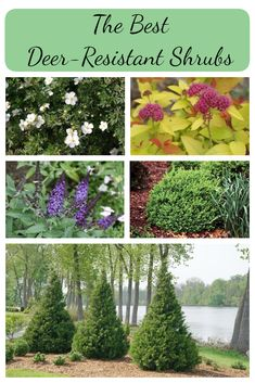 If Deer Eating All Your Plants Is A Problem In Garden Replace Them With These Resistant Shrubs