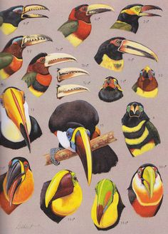 Id for various Toucans and Aracaris