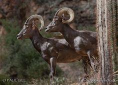 Two Male Desert Bighorn Rams