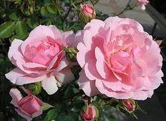 so schön blühen unsere rosen im garten und wie sie duften