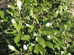 inkberry holly, black berries, evergreen