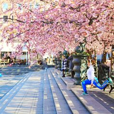 Stockholm had full blossom cherry blossom trees during the months of April and May. Spring has arrived late this year but the excitement to see these flowers was clearly visible among both locals and tourists. Even though Kungsträdgården is 'the' place for everyone to visit, one can spot many more trees planted across the city.… Cherry Blossom Tree, Blossom Trees, Trees To Plant, Stockholm, Repeat, Sidewalk, Street View, City, Spring