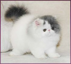 The cattery of Persian cats. The pictures of cats and kittens. Sale of show quality kittens. persian catteries in russia Cute Little Kittens, Cute Baby Cats, Cute Cats And Dogs, Cute Cats And Kittens, Cute Baby Animals, Pretty Cats, Beautiful Cats, Animals Beautiful, Persa Cat