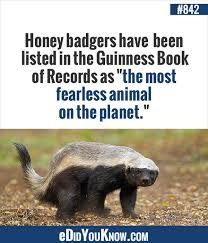 """Honey badgers have been listed in the Guinness Book of Records as """"the most fearless animal on the planet. Did You Know Trivia, Did You Know Facts, True Facts, Weird Facts, Crazy Facts, Funny Animals, Cute Animals, Animal Facts, Animal 2"""