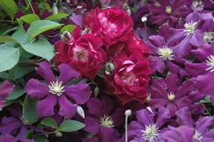 A 'Cardinal Hume' rose is hugged by 'Jackmanii Superba' clematis.