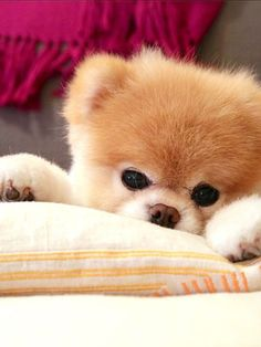 It's boo the dog ! He is the cutest dog in the world! Funny Animal Photos, Cute Animal Pictures, Cute Dogs And Puppies, I Love Dogs, Cute Baby Animals, Funny Animals, Boo And Buddy, Jiff Pom, World Cutest Dog