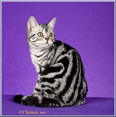 I love the markings of the American Shorthair! Beautiful