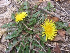 Eating Green: Dandelions and Roadside Pollution