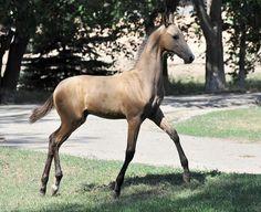 Akhal Teke foal