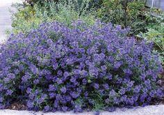 Bartblume Blauer Spatz® - Caryopteris clandonensis Blauer Spatz® günstig aus der Baumschule online kaufen