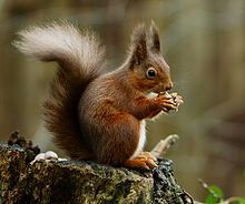 The red squirrel (Sciurus vulgaris) is an arboreal, omnivorous rodent.  In Great Britain and Ireland, numbers have decreased drastically in recent years. This decline is associated with the introduction by humans of the eastern grey squirrel (Sciurus carolinensis) from North America, In addition, habitat loss is a factor. Due to this, without conservation the species could be extinct within a generation.  Wikipedia.