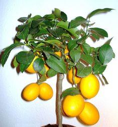 Citrus fruits trees are very popular among people. We all love oranges, mandarins, lemons and many more. We love having freshly squeezed orange juice Bonsai Palm Tree, Indoor Bonsai Tree, Indoor Tree House, Best Indoor Trees, Organic Fertilizer, Organic Gardening, Gardening Tips, Kumquat Tree, Citrus Trees