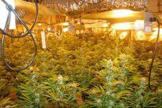 Hydroponic Marijuana Grow Guide