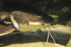 An image of  a catfish
