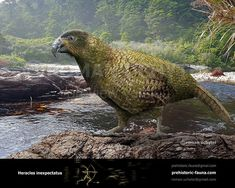 Heracles inexpectatus is a giant fossil parrot species from New Zealand, assigned to a monotypic genus Heracles, that lived during the early Miocene approximately 16 to 19 million years ago. Prehistoric World, Prehistoric Animals, Sea Whale, Extinct Animals, Animals Images, Bird Species, Ecology, Mammals, Habitats