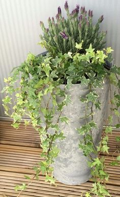 Add a vertical touch in your container garden by growing climbing plants for containers. Must see these 24 best vines for pots. Add a vertical touch in your container garden by growing climbing plants for containers. Must see these 24 best vines for pots. Ivy Plants, Garden Plants, Indoor Plants, Indoor Outdoor, Outdoor Pots, Outdoor Gardens, Climbing Flowers, Climbing Vines, Rock Climbing
