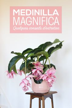 House Plants 435371488972284360 - Conseils entretien Medinilla Magnifica – Mango & Salt Source by Flower Pot Design, Decoration Plante, Pink Plant, Best Indoor Plants, Indoor Cactus, Indoor Herbs, Indoor Flowers, Interior Plants, Green Plants