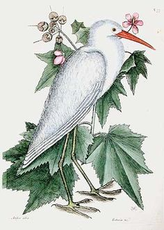 Mark Catesby - Little White Heron