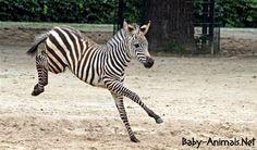Yavru hayvan resimleri   #babyzebra   #cutezebra  #cutebabyzebra  #littlezebra  #sweetzebra  #sweetbabyzebra  #babyanimals   #cuteanimals  #sweetanimals Jungle Animals Pictures, Animal Pictures, Baby Animals, Cute Animals, Baby Zebra, Zebras, Horses, Animales, Pretty Animals