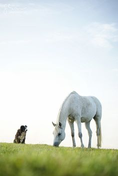A white horse and a border collie...would any be farm be complete without them?