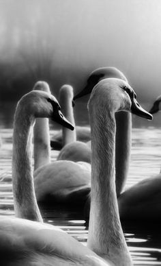 Swans | Black and White | Photography| pictures |monochrome